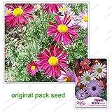 60 graines/Pack, graines dalmate pyrèthre, pyrèthre graines de cinerariifolium, chrysanthème, Balcon Potted...