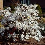 Müllers Grüner Garten Shop Sternmagnolie Magnolia stellata weiß blühend kleiner bleibend ca. 40-60 cm hoch im 3-4 Liter Topf