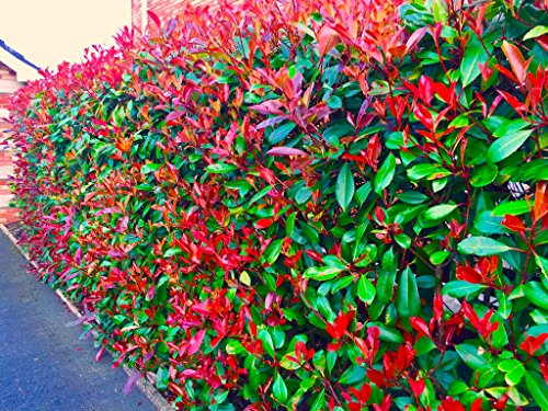 25-photinia-red-robin-evergreen-hedging-30-40cm-potted