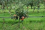 Lowfruit® Maloni Gullivers® - 2jähriges Bäumchen im 10lt-Topf