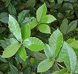 10 Quercus ilex Samen, Steineiche, immergrüne Eiche, ideal als Bonsai, Holly oak
