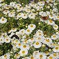 Blumixx Stauden Aster novae-angliae 'Herbstschnee' - Raublattaster, im 0,5 Liter Topf, weiß blühend von Blumixx Stauden - Du und dein Garten