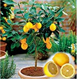 PLAT FIRM GERMINATIONSAMEN: Zwerg Meyer Zitrone Key Limette und Mandarin Orange Citrus Tree Seed 10 Seeds