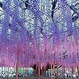 Yukio Samenhaus - 10 Stück Chinesischer Blauregen Wisteria sinensis Blumensamen, Ein winterharter Blütentraum starkwachsend Kletterpflanze