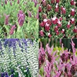 Best Mixed Indoor Plants - Head Growers choice Lavender Plants 6 x Plug Review
