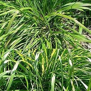 SVI New 50PCS citronella erba limone erba Cymbopogon Flexuosus semi fresco aroma rich Garden decorazione