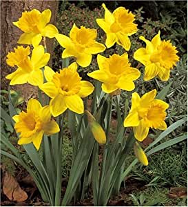Daffodil Dutch Master Bulbs 2Kg
