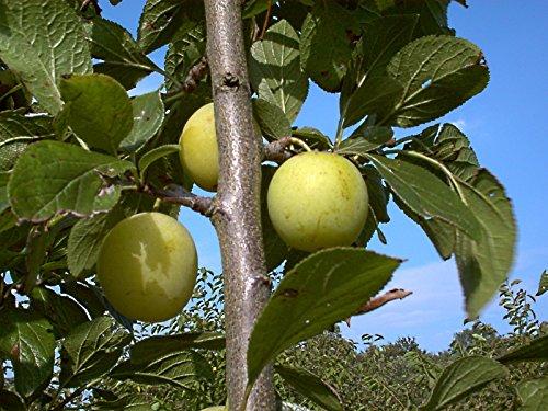 Pflaumenbaum, Goße grüne Reneclode, Prunus domestica, Obstbaum winterhart, Pflaume gelb grün, im Topf, 120 - 150