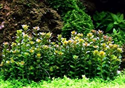 Tropica 1-2-GROW! Bonsai-Cognac Pflanze / Ammania sp. 'Bonsai' von TROPICA