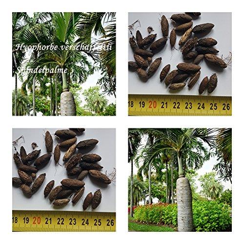 Spindelpalme - Hyophorbe verschaffeltii - Samen (20)