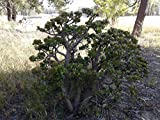 Go Garden Aimee et Dana'S Red-Tip Jade argent Arbre Succulent long Feuilles ovales...