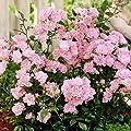 Fairy Rosen rosa von Meingartenshop auf Du und dein Garten