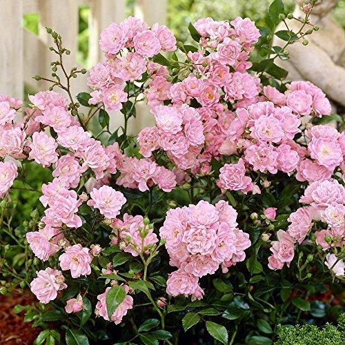 fairy rosen Fairy Rosen rosa - 3 pflanzen