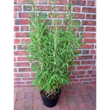 """2 Bambuspflanzen, Höhe: 110-120 cm, Fargesia murielae """"Jumbo"""", winterharter Gartenbambus"""