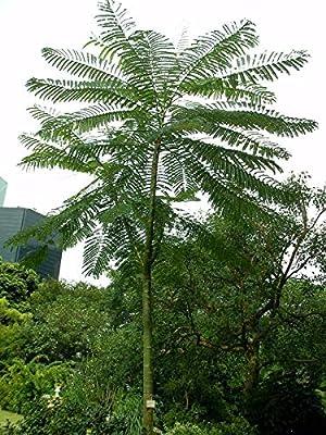 Portal Cool 10 Schizolobium Parahybum Samen, Turm Baum, brasilianisches Feuer-Baum von Wide Spread auf Gartenmöbel von Du und Dein Garten