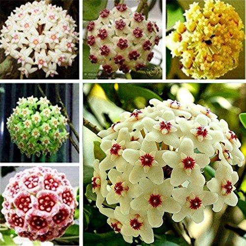 Qulista Samenhaus - 100pcs Südostasien Porzellanblumen Mischung Hoya Wachsblumen Saatgut Blumensamen Garten winterhart mehrjährig