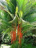 Portal Cool Tropical sigillatura cera di palma 5 Seeds