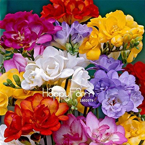 Galleria fotografica Grandi veri Fresia Bulbi da appartamento in vaso Fiori Orchids, bulbi di fiori Fresia Rhizome tasso di sopravvivenza è alta (non seme) -2 lampadine