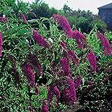 Schmetterlingsflieder Royal Red - Sommerflieder (Buddleja) Pflanze in rot, halbschattig und winterhart - Flieder-Strauch von Garten Schlüter