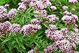 Arznei-Baldrian 50 Samen, Baldrian, (Valeriana Officinalis)