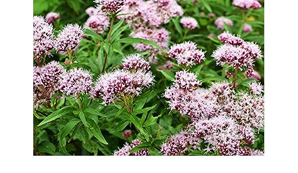 350//2800 Samen Baldrian Hügel Valeriana Officinalis Katzenminze