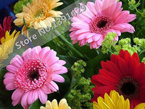 seme gerbera, coperta semi di piante bonsai fiori, 50pcs / famiglia e crisantemi giardino perenne. facile da coltivare. colori misti.