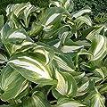 lichtnelke - Wellblatt-Funkie (Hosta undulata) MEDIOVARIGATA von Lichtnelke Pflanzenversand bei Du und dein Garten
