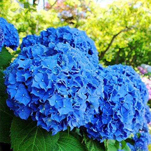 Ncient 100pcs/Sac Graines de Fleurs d'Hortensia, Hydrangea Fleur Seeds Rare Arbustes à Fleurs Décor Plante d'Intérieur Plante en Pot Rare Bonsaï de Jardin Balcon