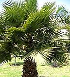Cotton Palm, Desert Fan Semi di palma - Washingtonia filifera - 5 semi - 5 semi