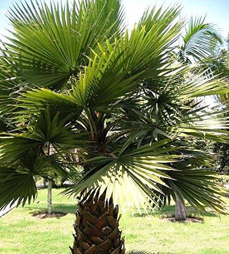 Baumwollpalme, Desert Fan Palm-Samen - Washingtonia filifera - 5 samen