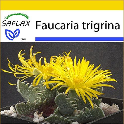 SAFLAX - Anzucht Set - Kakteen - Echter Tigerrachen - 40 Samen - Faucaria trigrina