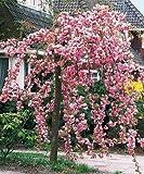 Cheal's Weeping Pink Flowering Cherry Tree 5-6ft,P.Serrulata Kiku Shidare Zakura 5L Pot 3fatpigs®