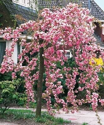 cheals-weeping-pink-flowering-cherry-tree-5-6ftpserrulata-kiku-shidare-zakura-5l-pot