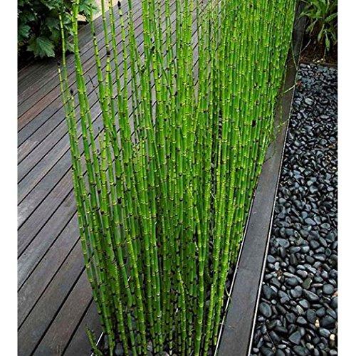0 Samen - Schöne Bonsai-Bäume Erde Büro Raumtemperatur ()