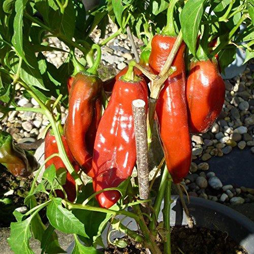 10 Samen Anaheim Chili - Pflanze bis zu 150cm, milde Sorte