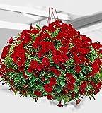 AIMADO sementi giardino - 20pcs raro Petunie pendenti Jamboree 'Scarlet' grandi fiori Semi sementi fiori giardino resistenza al freddo perenne in cesti pensili/vasi sul davanzale