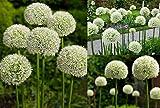 RIESEN LAUCH WEISS (Allium giganteum) - 30 Samen / Pack - Zierlauch - Winterhart - Riesenlauch