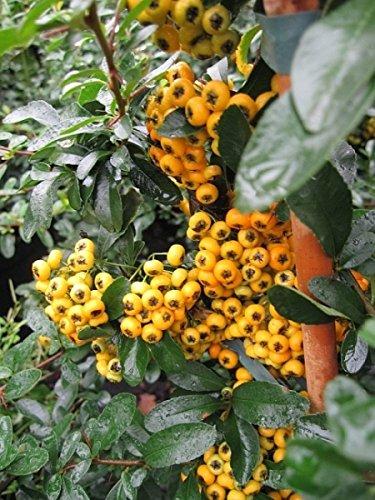 Pyracantha Saphyr Jaune® - Feuerdorn Saphyr Jaune® - Preis nach Größe 100-120 cm