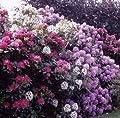 Rhododendron, 2 Liter blau/violett, 1 Pflanze von Dominik Gartenparadies auf Du und dein Garten