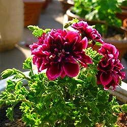 WuWxiuzhzhuo 20Geranien Blumen Samen, bepflanzen Home Bonsai Garden Dekoration Beauty 1
