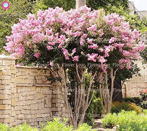 100pcs crape mirto - lagerstroemia indica 'natchez'flower bonsai courtyard piante bonsai albero per le piante di giardino domestiche
