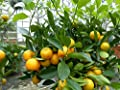 Calamondin Orangenbaum Citrus 75 - 90 cm Zitruspflanze von JH Gruenwaren GmbH & Co. KG bei Du und dein Garten