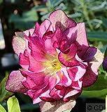 Christrose Lenzrose Double Ellen Red - Helleborus orientalis