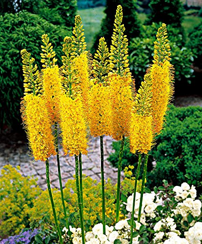 AIMADO Samen-10 Pcs Nadel von Cleopatra 'Eremurus stenophyllus ' Blumensamen mehrjährig mehrjährig,Saatgut Steppenlilie bienenfreundliche Blumen für Garten