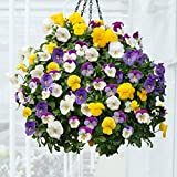 #7: Creative Farmer Viola Tricolor Seeds For Home Garden Hanging Basket- Garden Flower Seeds Pack