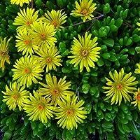50+ Semillas/Paquete Dorotheanthus Bellidiformis Planta de Hielo Amarillo Semillas de Flores/Perenne