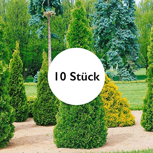 Pflanzen Kölle 10er-Set Heckenkonifere Thuja occidentalis Smaragd - Thuja kaufen