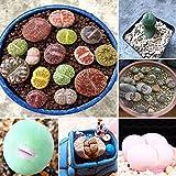 Inovey 100Pcs Granos Lithops Pseudotruncatella Planta Semillas Raras Macetas De Piedra Suculentas Mezcla Semillas