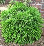 50pcs / Japan - Japanische Zeder Samen, göttliche Gehölzen Bonsai Samen, Topf Baum zu pflanzen, Kräutersamen, Geschenk,