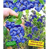 BALDUR-Garten Trauben-Heidelbeere 'Reka Blue' Blaubeeren Heidelbeeren Pflanze, 1 Pflanze Vaccinium corymbosum reichtragend